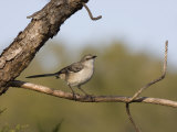 Portrait of a Mockingbird  Florida's State Bird