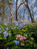 Virginia Bluebells  Mertensia Virginicais  Herald Spring in a Forest