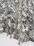 Stand of Birch Trees on a Snowy Day