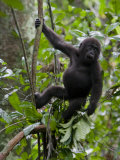 Juvenile Male Western Lowland Gorilla Shaking a Tree Branch