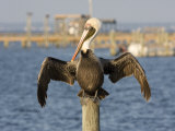 Brown Pelican Perched on a Pier Piling