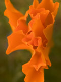 Close-up of Partly Opened California Poppies Growing in the Forest