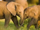 African Elephant (Loxodonta Africana) Calves Entwining Trunks