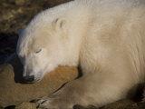 Polar Bear Sleeps on a Rock