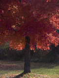 Red Maple Tree on an Autumn Day Silhouettes by the Sun