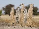 Meerkats on the Edge of the Makgadikgadi Pans