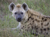 Spotted Hyena Resting on a Grassy Plain