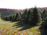 Rows of Pine Trees Await Christmas Buyers