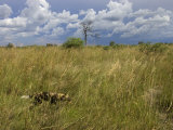 Lone African Wild Hunting Dog Walking in Tall Grass