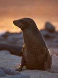 Lone Sea Lion at Sunset in the Galapagos Islands Papier Photo par Michael Melford