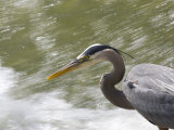 Great Blue Heron Waits by Rushing Water to Catch a Fish