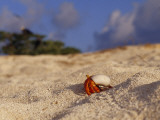 Strawberry Land Hermit Crab Emerging from its Shell on a Sand Beach