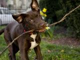 Pet Mutt-Chocolate Labrador Mix Dog Chewing on a Stick