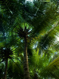 Palm Trees Make a Canopy of Green Overhead with their Fronds