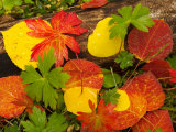 Quaking Aspen and Wild Geranium Leaves on the Forest Floor in Autumn