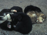 Husky Puppies Curled Up Sleeping