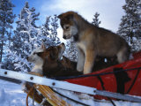 Siberian Husky Puppies Play on a Snow Sled