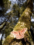 Ceanothus Silk Moth on the Trunk of a California Black Oak Tree