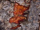 Elephant Tusk Marks in the Bark of an Ebony Tree after Feeding on It