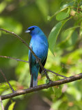 Indigo Bunting  Passerina Cyanea  Perched on a Cherry Tree