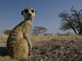 Meerkat (Suricatta Suricatta) Sitting Up