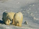 White Arctic Fox (Alopex Lagopus) and Polar Bears (Ursus Maritimus)