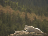 Two Mountain Goats Lying on Rock Formations in Custer State Park