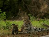 Leopard (Panthera Pardus) Mother and Cub Papier Photo par Beverly Joubert