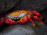 Sally Lightfoot Crab on a Rock in the Galapagos Islands