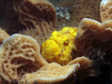 Camouflaged Like Sponge  an Ocellated Frogfish Lurks in a Sheet Coral