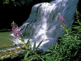 Fireweed and Ouzel Falls  Near Big Sky
