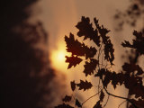 Silhouetted Oak Leaves at Sunset