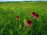 Field of Purple Coneflowers