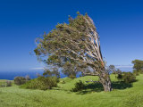 Wind-Scultped Tree on the High Coast of Hawaii