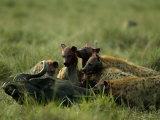Spotted Hyenas (Crocuta Crocuta) Feed on a Buffalo