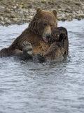 Brown Bear Taking a Bath in a River