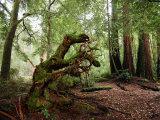 Redwoods in Big Basin State Park  California