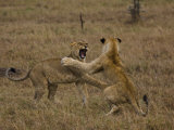 Sub Adult African Lions Fighting