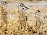 Group of Standing Meerkats  Suricata Suricatta