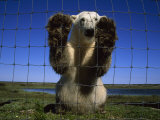 Polar Bear Leaning Against the Fence Surrounding a Research Camp