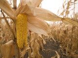 Ear of Corn Ready for Harvest in a Corn Field