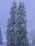 Towering Fir Trees Blanketed in Snow at Dusk