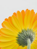 View of Stem and Underneath a Gerbera Daisy