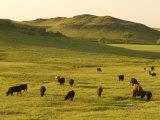 Cattle Grazing on the Hills Near Killdeer  North Dakota