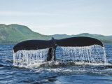 Humback Whale Diving with Tail Flukes Raised into the Air Papier Photo par James Forte
