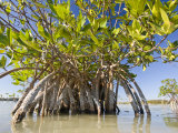 Mangrove Near Calosa Key in Everglades National Park  Florida
