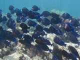 School of Blue Tangs Swimming over the Coral Reefs Off Key Largo