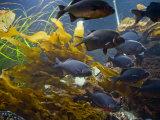 School of Carp Swim Through the Current Between Tides