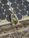 Suricate (Suricata Suricatta  also Called Meerkat)  Suns Himself Against a Solar Cell