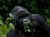 Mountain Gorilla Eating Leaves